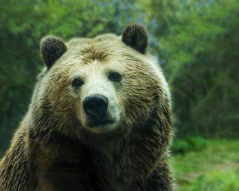 Ursul brun animal de putere